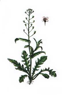 Пастушья сумка обыкновенная - Capselia bursa-pastoris (L.) Medik.